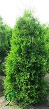 Thuja Brabant Lebensbaum 25 x Thuja Heckenpflanze 180-200 cm inkl. Versand 635,-