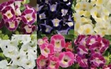 20+ TORENIA WISHBONE FLOWER SEEDS MIX / ANNUAL