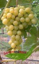 Weintraube Frumoasa Alba Ananasaroma wenig Kerne süß140