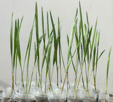 2 x Jubaea chilensis palme pianta Cile miele Palma inverno 30-45cm -20 ° C