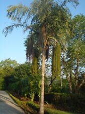 Giant Fishtail Palm 15 Seeds - Caryota urens - Toddy