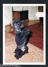 FOTO vintage PHOTO, schöner Hund Pudel dog pretty poodle beau caniche chien /56b