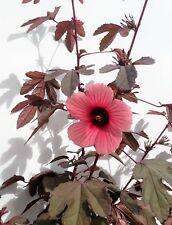 Cranberry Hibiscus, Hibiscus Acetosella 1 well-rooted starter plant! 5 seedlings