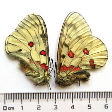 PAIR unmounted butterfly Papilionidae Parnassius bremeri CHINA  A1 #L