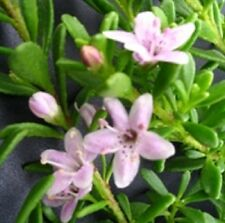 PINK MYOPORUM parvifolium boobialla native groundcover flowers plant 135mm pot