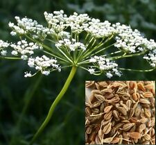 ANISE Versatile annual edible herb plant in 100mm pot