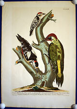 Woodpeckers-Magnificent Large-Format Copperplate Beautiful Colours 1771 Original