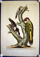 SPECHTE - prachtvoller grossformatiger Kupferstich schönes Kolorit 1771 Original