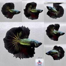 Betta Fish JU12 Male Fancy Black Dragon OHM Premium Grade