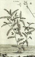 Orobus Orobe Plante Botanique Geoffroy Garsault Gravure XVIIIème