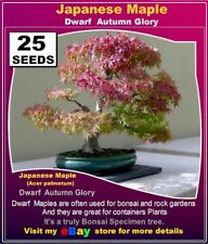 BONSAI SEEDS: Japanese Maple Dwarf- Autumn Glory- 25x SEEDS