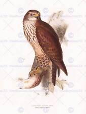 La PITTURA Birds Gould LEAR buteo buteo 12x16'' art print poster lah538b