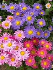 Chinese Aster Seeds, Farm  Mix, Heirloom Flower Seed, Mixed Asters, Annual 50ct