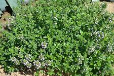100 Semillas Tomillo de Hoja ancha, Serpol silvestre (Thymus pulegioides) seeds