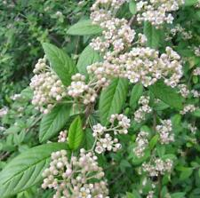 Cotoneaster hylmoei - Rare Evergreen Shrub in 9cm Pot