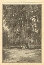 Montezuma's Tree, Texas, Giant Cypress Tree, Vintage, 1887 Antique Art Print.