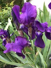 Two Iris germanica Dark Knight Purple  bare root rhizome plant  - bearded iris