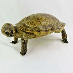 """Vintage Taxidermy Turtle with Legs Head and Tail  10"""" Standing Real Turtle Mount"""