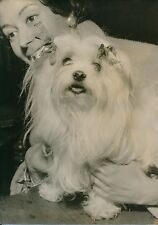 BICHON MALTAIS 1956 - Chien Exposition Canine Salle Wagram Paris - PR 619