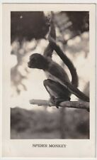 Panama Spider Monkey Real Photo Postcard Ekc Back Issued Circa 1940