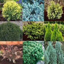 Mixed Lot of 10 Conifer Plants in 9cm Pots - Ornamental Evergreen Shrubs Trees
