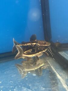 Beautiful Redtail Tiger Shovelnose Hybrid Catfish 4-5 Inches Imported