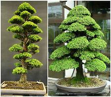 50 semi di Cryptomeria Japonica,cedro giapponese, semi bonsai