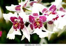 Bllra Tahoma Glacier 'Ithan', orchid plant