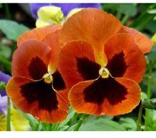 15 graines PENSEE GEANTE ORANGE(Viola wittrockiana)X04 PANSY SEEDS SEMILLA SEMI