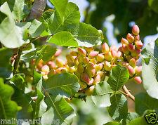 Live PISTA FRUIT (Pistachio) Plant - 1 FEET HEIGHT- 1 Healthy plant