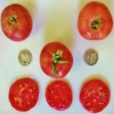 Early Wonder - Organic Heirloom Tomato Seeds - Very Early - 40 Seeds