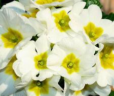 PRIMROSE ENGLISH ACCORD WHITE PERENNIAL Primula Vulgaris - 50 Bulk Seeds