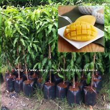 "50cm Grafted Plant Mango tree Mangifera indica ""Nam Dok Mai"" Gold Mango Rare"