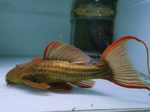 """L24 Redfin Pseudacanthicus  PLECO LIVE TROPICAL FISH CATFISH  3.5""""- 4"""""""