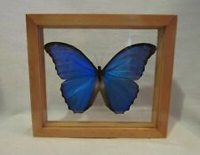 Framed large size colorful Amazonian butterfly - Morpho Didius in brown frame!