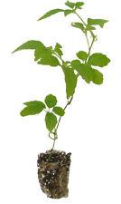 20 x Jiaogulan Pflanzen Kraut der Unsterblichkeit   Gynostemma pentaphyllum