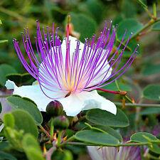 CAPPARIS spinosa Caper Bush Seeds (ES 66)