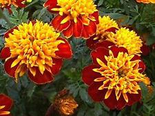 Marigolds Orange Flame Flower annuals Seeds  from Ukraine