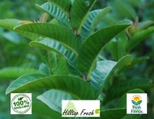 Fresh Guava Leaves 120 pcs -  Certified Fresh From FLORIDA - Organic & Grade A