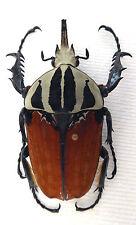 Beetle, Cetonidae, Mecynorhina oberthüri kirchneri (f.unicolor)male , n 316