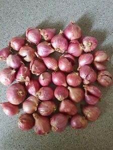 Red Sun Shallot Onion Sets - 15 Bulbs - Ready To Plant And Harvest This Year