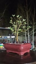 New listing Chinese Quince Bonsai