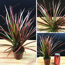 Ornamental Dracaena Marginata Seeds Plants Bonsai Widely Cultivated 50pcs