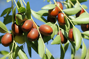Chinese Jujube - Iberian Delicious - Chinese Date - 5+ seeds - Semillas