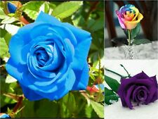 30 Premium Rose Seeds - Purple Blue Rainbow - Flower Garden Gift Value 3 Pack