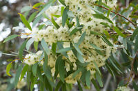 der tolle Zitronen-Eukalyptus sieht gut aus und duftet super !