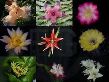 "Epiphyllum Blattkakteen Hybride "" Cadiz """