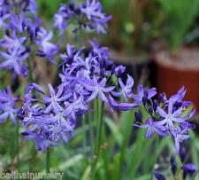 3 New Agapanthus Calimero violet blue flowers excellent garden plant