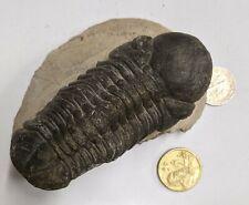 Devonian Age TRILOBITE Fossil From Morocco (#U285)