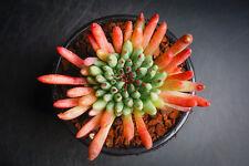 Sempervivum calcareum 'Grigg's Surprise' - Succulent rare plant (XS)(F29)